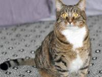 Tabby - Patience - Large - Adult - Female - Cat