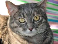 Tabby - Patty - Medium - Baby - Female - Cat All cats