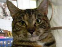Tabby - Piper - Large - Adult - Female - Cat Piper is a