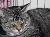 Tabby - Polly - Medium - Young - Female - Cat Buff and