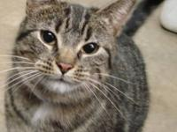 Tabby - Popcorn - Medium - Young - Female - Cat Kitten