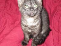 Tabby - Queen Elizabeth - Medium - Baby - Female - Cat