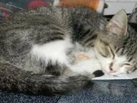 Tabby - Razputin (raz) - Small - Baby - Male - Cat EBD: