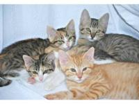 Tabby - Rescued Kittens - Small - Baby - Female - Cat