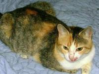 Tabby - Sabrina - Medium - Adult - Female - Cat
