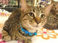 Tabby - Samuel - Medium - Baby - Male - Cat If you