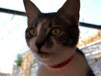 Tabby - Seneca - Medium - Baby - Female - Cat Seneca is
