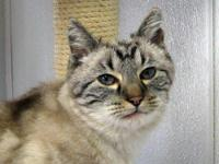 Tabby - Shadow - Medium - Senior - Male - Cat Shadow is