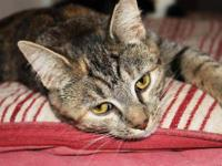 Tabby - Shirley - Medium - Young - Female - Cat Shirley