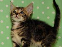 Tabby - Skipper - Medium - Baby - Male - Cat Skipper is