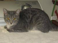 Tabby - Spice - Medium - Young - Female - Cat Spice is