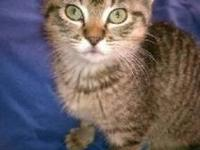 Tabby - Sugar - Small - Baby - Female - Cat