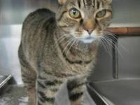 Tabby - Sunsan - Medium - Adult - Female - Cat One of