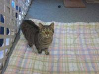 Tabby - Sylvester7489 - Medium - Adult - Male - Cat