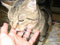 Tabby - Tabby - Small - Young - Female - Cat