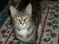 Tabby - Tabitha - Medium - Adult - Female - Cat
