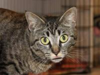 Tabby - Tessa - Small - Adult - Female - Cat We would
