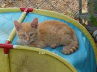 Tabby - Toad - Medium - Baby - Male - Cat The adoption