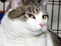 Tabby - White Miss Kitty is a 6 yr. old white and tabby
