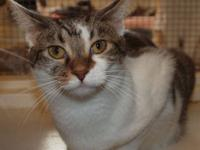Tabby - White - Bramble - Medium - Young - Male - Cat