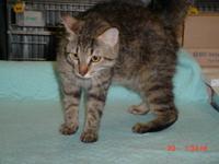 Tabby - White - C.a.t. - Medium - Adult - Female - Cat