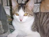 Tabby - White - Chechee - Large - Adult - Female - Cat