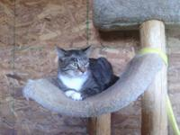 Tabby - White - Gracie-call Lisa  - Small - Adult