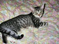 Tabby - White - Hillary - Small - Adult - Female - Cat