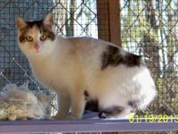 Tabby - White - Joanie - Large - Adult - Female - Cat