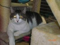 Tabby - White - Maynard - Small - Adult - Male - Cat