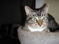 Tabby - White - Meg - Medium - Adult - Female - Cat Meg