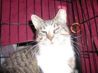 Tabby - White - Minnie - Medium - Adult - Female - Cat