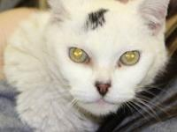 Tabby - White - Opal - Medium - Adult - Female - Cat