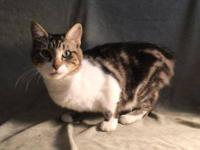 Tabby - White - Savannah - Medium - Adult - Female -