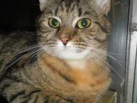 Tabby - Zelda - Small - Young - Female - Cat Zelda is a