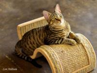 Tabby - Zumba - Small - Young - Male - Cat All St.