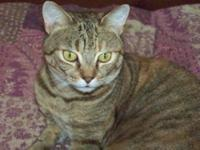 Tabby - Black - Double Dutch - Small - Young - Female -