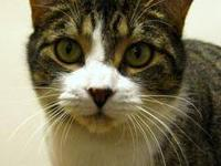 Tabby - Brown - Cupcake - Small - Adult - Female - Cat