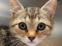 Tabby - Brown - Diesel - Medium - Baby - Male - Cat