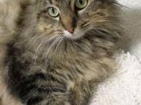 Tabby - Brown - Sugar (2006) - Medium - Adult - Female