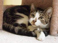 Tabby - Brown - Willow - Medium - Young - Female - Cat