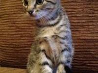 Tabby - Grey - Brenda's Kittens - Medium - Baby -