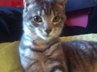 Tabby - Grey - Jeffrey - Medium - Baby - Male - Cat