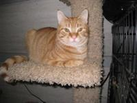 Tabby - Micky - Medium - Young - Male - Cat FURR is a
