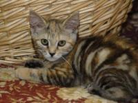 Tabby - Trixie - Medium - Baby - Female - Cat This