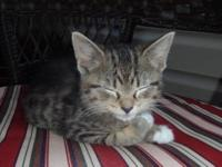 Tabby - Vickie - Medium - Baby - Female - Cat