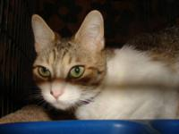 Tabby - White - Roberta - Small - Young - Female - Cat