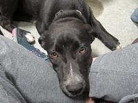 Tabitha's story TABITHA SHELTER BREED: LAB MIX FEMALE,