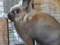 Tabitha is a 4 month old lionhead rabbit. she is a