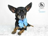 Taceaux is an ultra-friendly velcro dog, who loves to